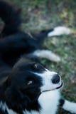 Dog border collie Stock Photos