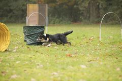 Dog, Border Collie, running in hooper competition. Dog, Border Collie, running in agility competition Stock Photos