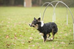 Dog, Border Collie, running in hooper competition. Dog, Border Collie, running in agility competition Royalty Free Stock Image