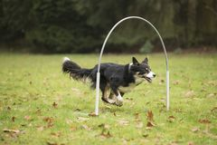 Dog, Border Collie, running in hooper competition. Dog, Border Collie, running in agility competition Stock Images