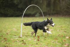 Dog, Border Collie, running in hooper competition. Dog, Border Collie, running in agility competition Stock Photography
