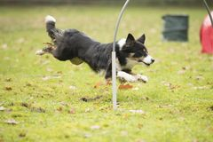 Dog, Border Collie, running in hooper competition Royalty Free Stock Images