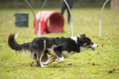 Dog, Border Collie, running in hooper competition. Dog, Border Collie, running in agility competition Royalty Free Stock Photo