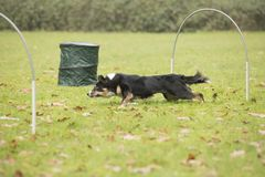 Dog, Border Collie, running in hooper competition. Dog, Border Collie, running in agility competition Royalty Free Stock Photos