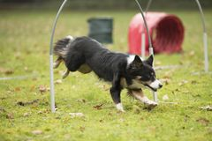 Dog, Border Collie, running in hooper competition. Dog, Border Collie, running in agility competition Royalty Free Stock Photography