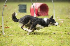 Dog, Border Collie, running in hooper competition Stock Photos