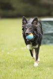 Dog, Border Collie, running Royalty Free Stock Photo