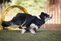 Dog, Border Collie, running in hooper competition. Border Collie running in hooper competition Royalty Free Stock Photo