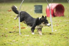Dog, Border Collie, running in hooper competition Stock Photo