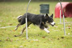 Dog, Border Collie, running in hooper competition Stock Images