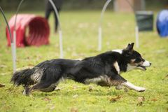 Dog, Border Collie, running in agility hooper competition. Dog, Border Collie, running in hooper competition Stock Image