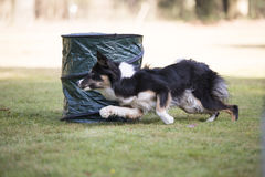 Dog, Border Collie, running in hooper training. Border Collie running in hooper training Royalty Free Stock Photography