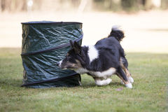 Dog, Border Collie, running in hooper training. Border Collie dog running in hooper training Stock Images