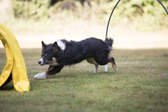 Dog, Border Collie, running in hooper training Stock Images