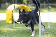 Dog, Border Collie, running through hoopers, agility Stock Images