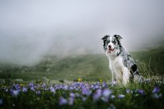 Dog Border Collie sits on a background of flowering fields stock images