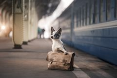 Dog Border collie at the station, meets. Travel with a pet,