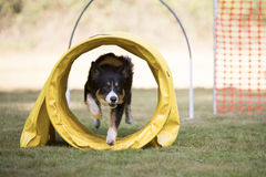 Dog, Border Collie, training hoopers Royalty Free Stock Photos