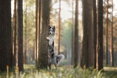 Dog border collie on a walk in the woods. Dog border collie walking in the afternoon in a Sunny forest Royalty Free Stock Images