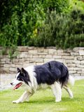 Dog, border collie, walking outdoors. In the garden Stock Photography