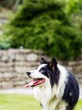 Dog, border collie, watching bubble. Outdoors in the garden Stock Photo