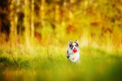 Dog border colliie on the green yellow grass stock photography