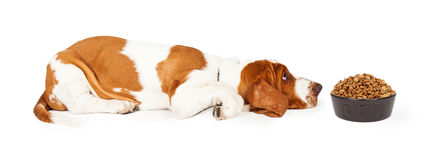 Dog Bored With Food Stock Photo