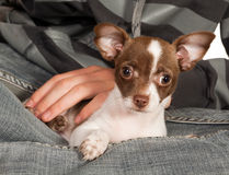Dog on boss lap. Chihuahua puppy of three months old on his boss' lap Royalty Free Stock Photography