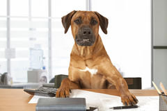 Dog Boss. Rhodesian Ridgeback dog sits at a desk as Big Boss Royalty Free Stock Image