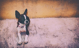 Dog. Boston Terrier Royalty Free Stock Image