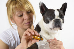 Dog Boston Terrier at veterinarian Stock Images