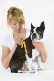 Dog Boston Terrier at veterinarian Royalty Free Stock Photography