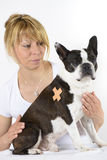 Dog Boston Terrier at veterinarian Stock Photos