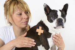 Dog Boston Terrier at veterinarian Royalty Free Stock Image