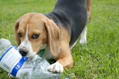 Dog with bottle. Beagle played with water bottle Royalty Free Stock Photography
