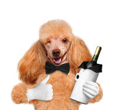 Dog with a bottle of wine Stock Images