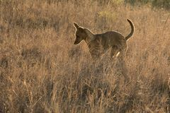 Dog bounding in long grass. A brown sandy dog walks in long grass in South Africa Royalty Free Stock Image