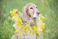 Golden spaniel in a meadow with a bouquet of spring flowers stock photography