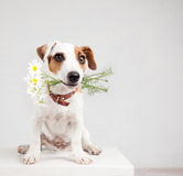 Dog with a bouquet of flowers in a teeth Royalty Free Stock Images