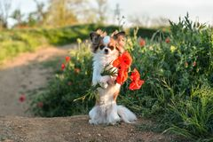 Dog with a bouquet of poppies Stock Images