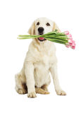 Dog and bouquet of tulips Royalty Free Stock Image