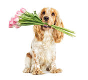 Dog and bouquet of tulips Royalty Free Stock Photos