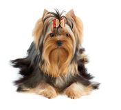 Dog with bow Royalty Free Stock Photography