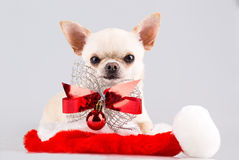 Dog with bow Stock Images