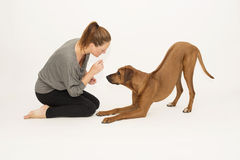 Dog in bow pose receiving reward Stock Images