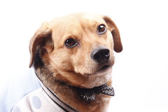 Dog and bow tie. A little older dog on blue dress Stock Image