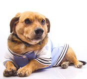 Dog and bow tie. A little older dog on blue dress Royalty Free Stock Images