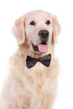 Dog with bow tie. Elegance golden retriever dog with bow tie Royalty Free Stock Photo