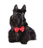 Dog in bow tie Royalty Free Stock Images