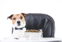 Dog with bow tie eating food from bowl. Jack Russell Terrier on child highchair Royalty Free Stock Photo